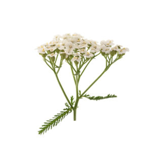 yarrow-flower-and-leaves
